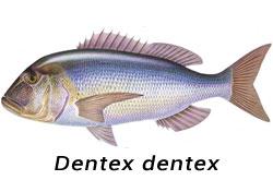 Dentice