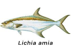 LECCIA AMIA