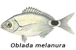 OCCHIATA